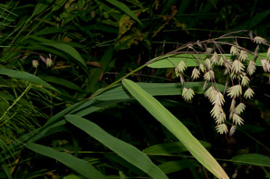 Briza maxima (Big Quaking Grass, Great Quaking Grass, Large Quaking Grass, Blowfly Grass, Rattlesnake Grass)