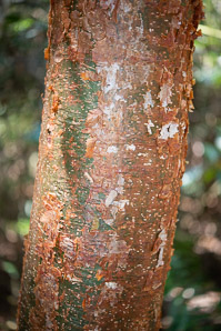 Bursera simaruba (Gumbo Limbo, Copperwood, Chaca, Turpentine Tree)