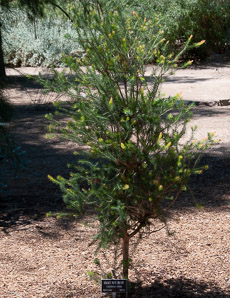Calothamnus villosus (Silky Net Bush, Woolly Net Bush)