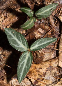 Chimaphila maculata (Spotted Wintergreen, Striped Wintergreen, Spotted Pipsissewa)