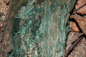 Chlorociboria aeruginascens (blue stain fungus, green elfcup, green wood cup)