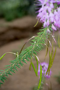 Cleome serrulata (Rocky Mountain Beeplant, Stinkweed, Stinking Clover, Navajo Spinach)