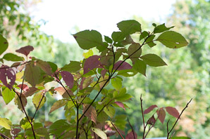 Cornus alternifolia (Pagoda Dogwood, Alternateleaf Dogwood)