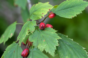 Crataegus jonesiae (Jones' Hawthorn)