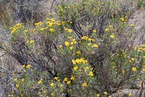 Ericameria linearifolia (Goldenbush, Interior Goldenbush)