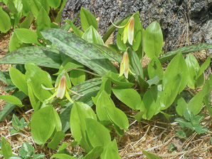 Erythronium americanum (Trout Lily, Yellow Trout-lily, Dogtooth Violet)