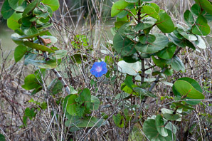 Ipomoea indica (Oceanblue Morning Glory, Blue Morning Glory)