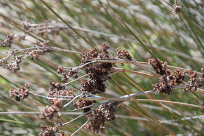 Juncus acutus (Spiny Rush, Sharp Rush)