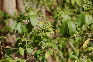 Ligustrum sinense (Chinese Privet)
