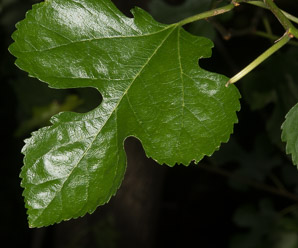 Morus rubra (Red Mulberry)
