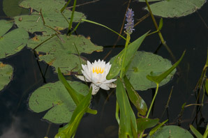 Nymphaea odorata (Fragrant Water Lily, Beaver Root, American White Waterlily)