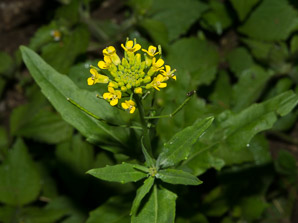 Rorippa palustris (Bog Yellowcress, Bog Marshcress, Common Yellowcress, Marsh Yellowcress, Marshcress, Yellow Cress)