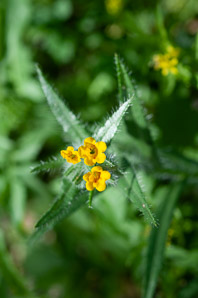 Amsinckia menziesii (Orange Fiddleneck, Small-flowered Fiddleneck, Rancher's Fiddleneck, Common Fiddleneck)