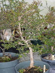 Bucida molinetii (black olive, spiny black olive, Ming tree, dwarf geometry tree)