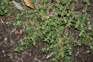 Chamaesyce vermiculata (Spotted Spurge, Small Spotted Sandmat, Hairy Spurge, Wormseed Sandmat, Worm-seed Sand-mat)