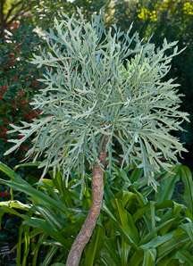 Cussonia paniculata (Cabbage Tree, Mountain Cabbage Tree)