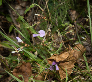 Desmodium rotundifolium (Prostrate Ticktrefoil, Round-leaved Trailing Ticktrefoil, Dollar Leaf)