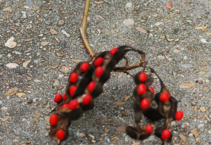 Erythrina herbacea (coral bean, cherokee bean, mamou plant)