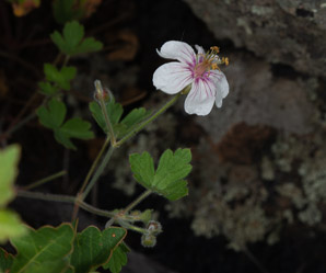 Geranium richardsonii (Richardson's Geranium)