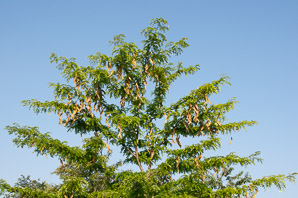 Gleditsia triacanthos (Thornless Honeylocust)