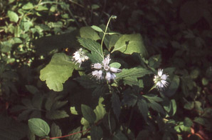 Hydrophyllum (waterleaf)