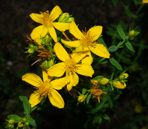 Hypericum perforatum (St. John's Wort, Common St. John's Wort, Common St. Johnswort)