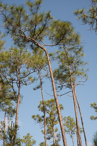 Pinus elliottii (Slash Pine, Yellow Slash Pine, Swamp Pine)