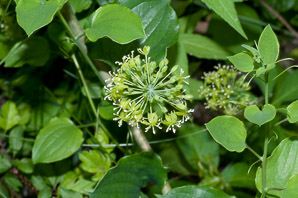 Smilax herbacea (Smooth Carrion Flower, Carrion Vine, Herbaceous Carrion Flower, Smooth Herbaceous Greenbrier)