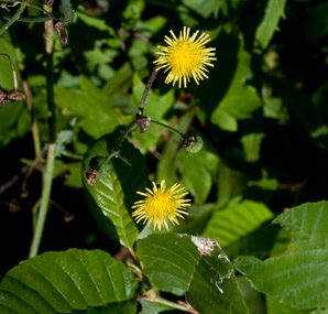 Sonchus asper (spiny-leaved sow-thistle, spiny sowthistle, prickly sowthistle, spiny-leaved sow thistle)