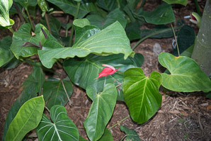 Spathiphyllum (Red Peace Lily)