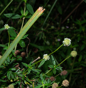 Spermacoce terminalis (everglades false buttonweed)
