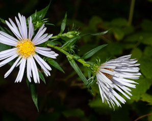 Symphyotrichum puniceum (Purple-stemmed Aster, Red-stem Aster, Swamp Aster)