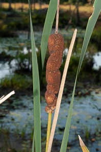 Typha latifolia (Common Cattail, Bulrush, Common Bulrush, Broadleaf Cattail, Great Reedmace, Cooper's Reed, Cumbungi, Narrow-leaved Cattails)