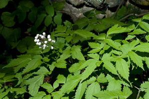 Actaea rubra (white-fruited red baneberry)