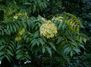 Ailanthus altissima (Tree of Heaven, Ailanthus)