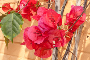 Bougainvillea glabra (Paperflower)