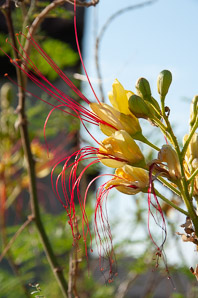 Caesalpinia gilliesii (Yellow Bird-of-paradise, Desert Bird-of-paradise, Bird-of-paradise Shrub)