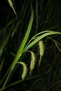 Carex gynandra (Nodding Sedge)