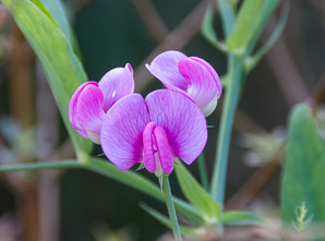 Centrosema virginianum (Spurred Butterfly Pea)
