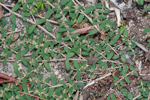Chamaesyce maculata (Prostrate Spurge, Spotted Sandmat, Spotted Spurge, Milk Purslane)