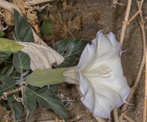 Datura wrightii (angel's trumpet, sacred thorn-apple, sacred datura, western jimson weed, belladonna, toloache, Jimsonweed, thorn-apple, angel trumpet)