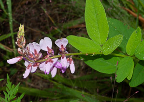 Desmodium canadense (Showy Tick Trefoil)