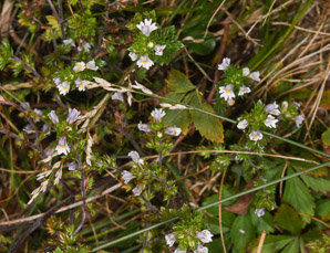 Euphrasia nemorosa (common eyebright)