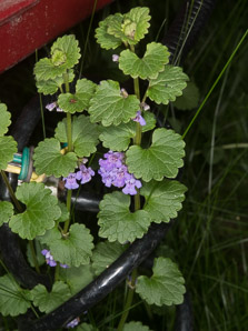Glechoma hederacea (Ground-ivy, Gill-over-the-ground, Creeping Charlie, Alehoof, Tunhoof, Catsfoot, Field Balm, Run-away-robin)