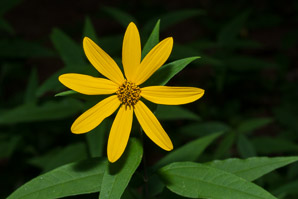 Helianthus divaricatus (woodland sunflower)