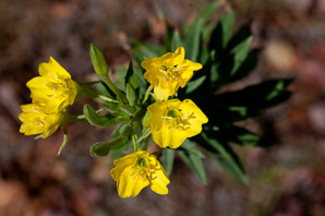 Oenothera biennis (common evening primrose)