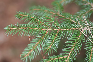 Picea glauca (White Spruce, Canadian Spruce, Skunk Spruce, Cat Spruce, Black Hills Spruce, Western White Spruce, Albert White Spruce, Porsild Spruce)