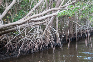 Rhizophora mangle (Red Mangrove)