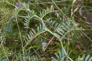 Vicia villosa (Hairy Vetch)