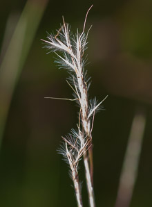 Aristida dichotoma (poverty grass, churchmouse threeawn, Shinners' three-awned grass)